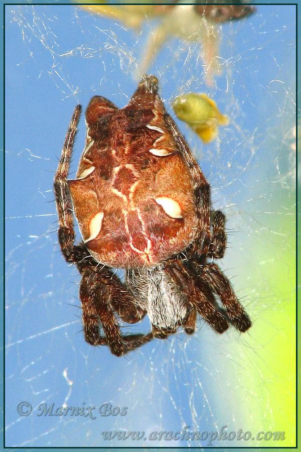 Genus <em>Cyrtophora</em>