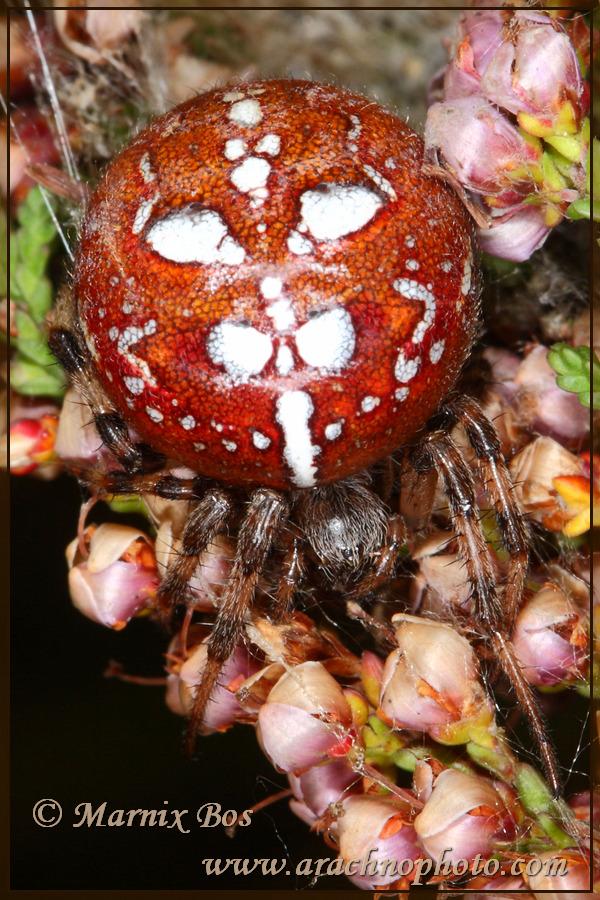 <em>Araneus quadratus</em>