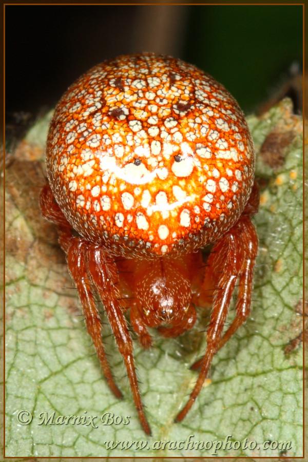 <em>Araneus alsine</em>
