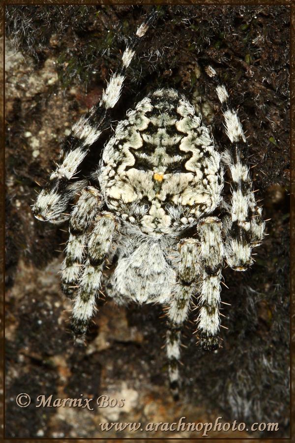<em>Araneus circe</em>