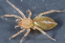 <em>Cheiracanthium virescens</em>