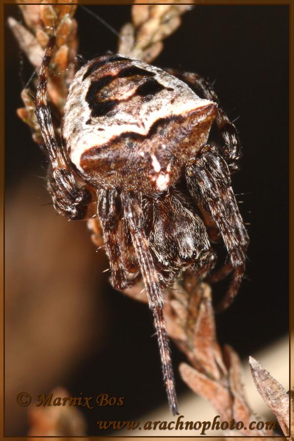 <em>Gibbaranea bituberculata</em>