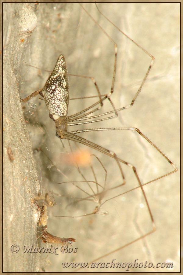 <em>Holocnemus hispanicus</em>