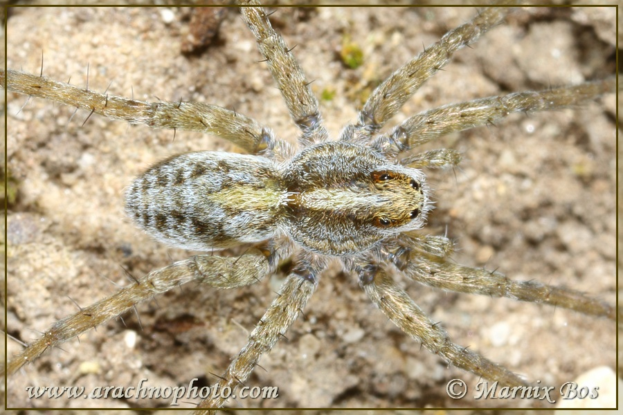 <em>Pardosa cribrata</em>