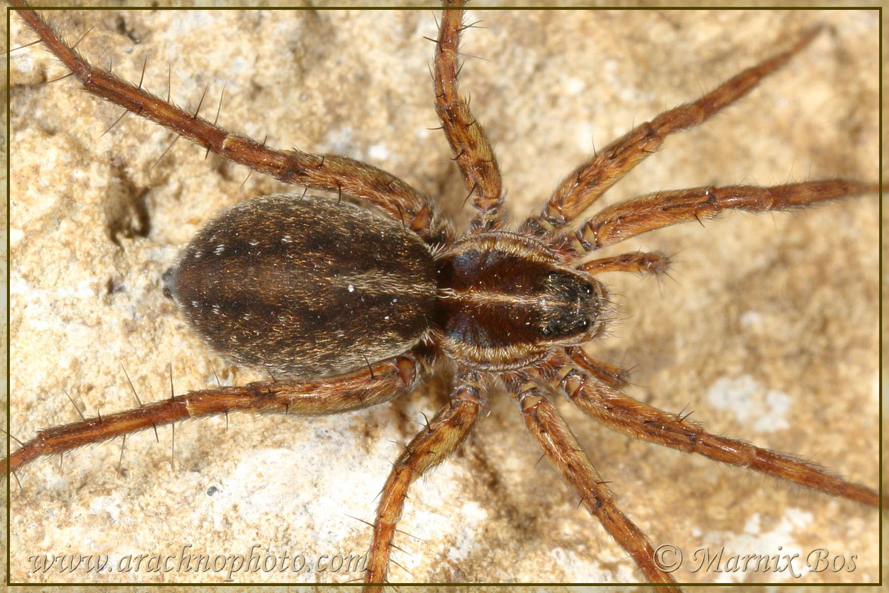<em>Pardosa oreophila</em>
