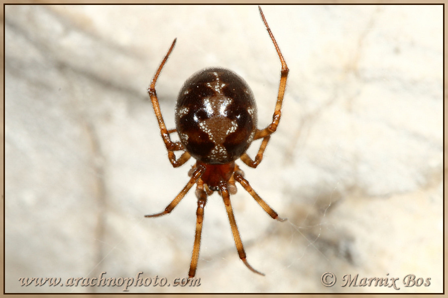 <em>Steatoda triangulosa</em>