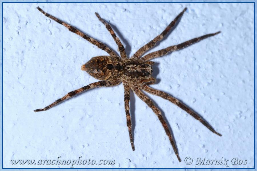 <em>Zoropsis spinimana</em>