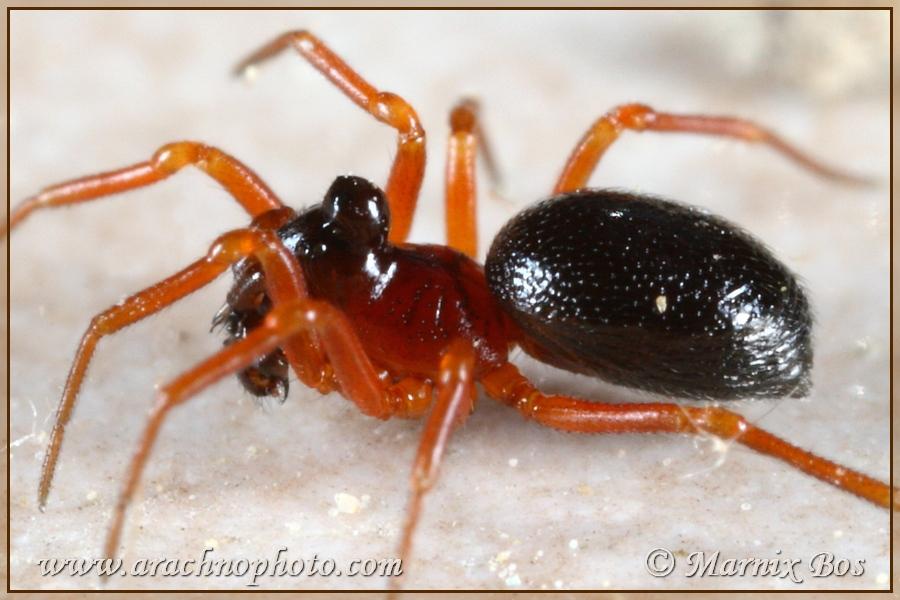 Subfamily <em>Erigoninae</em> - Dwarf spiders