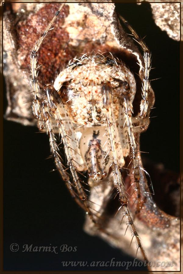 Genus <em>Mimetus</em>