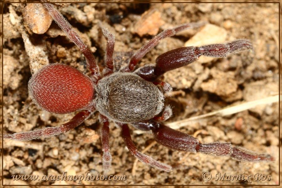 Genus <em>Palpimanus</em>