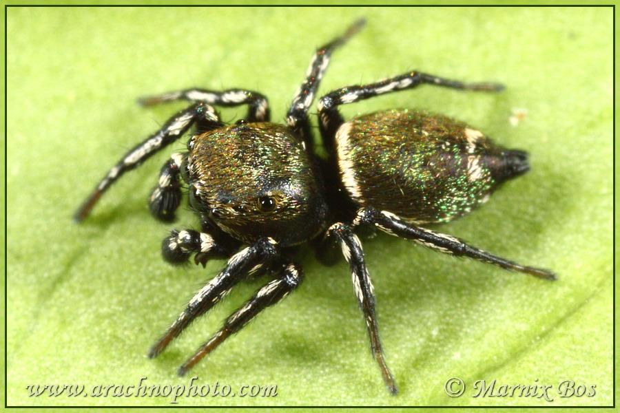 Genus <em>Heliophanus</em>