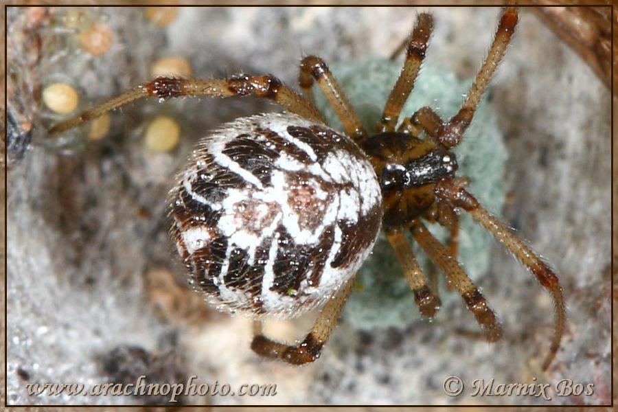 Genus <em>Phylloneta</em>