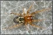 Genus Amaurobius