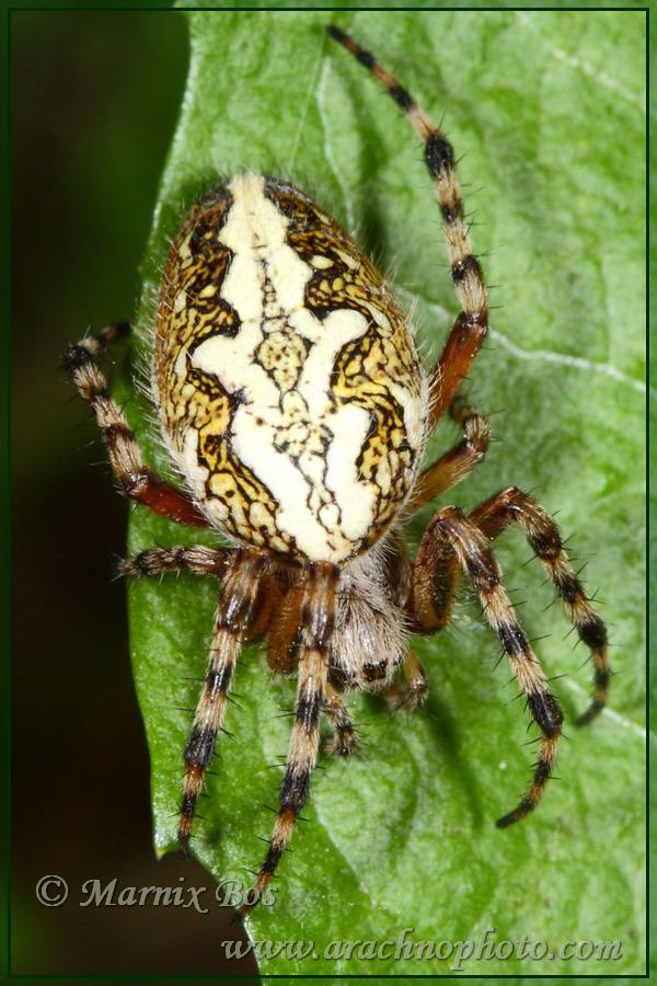 Genus <em>Aculepeira</em>