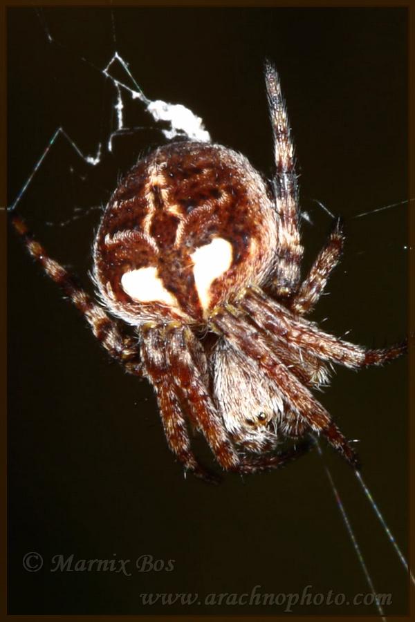 Genus <em>Agalenatea</em>