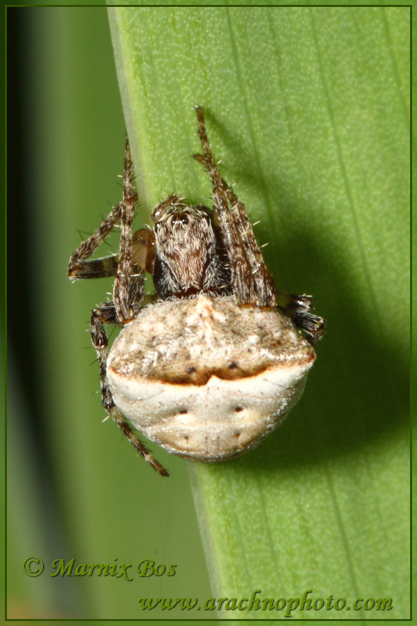 Genus <em>Gibbaranea</em>