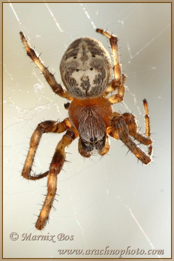 Genus <em>Larinioides</em>