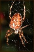 Genus Araneus