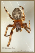 Genus Larinioides