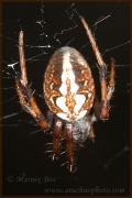 Genus Neoscona