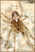 Genus Parazygiella