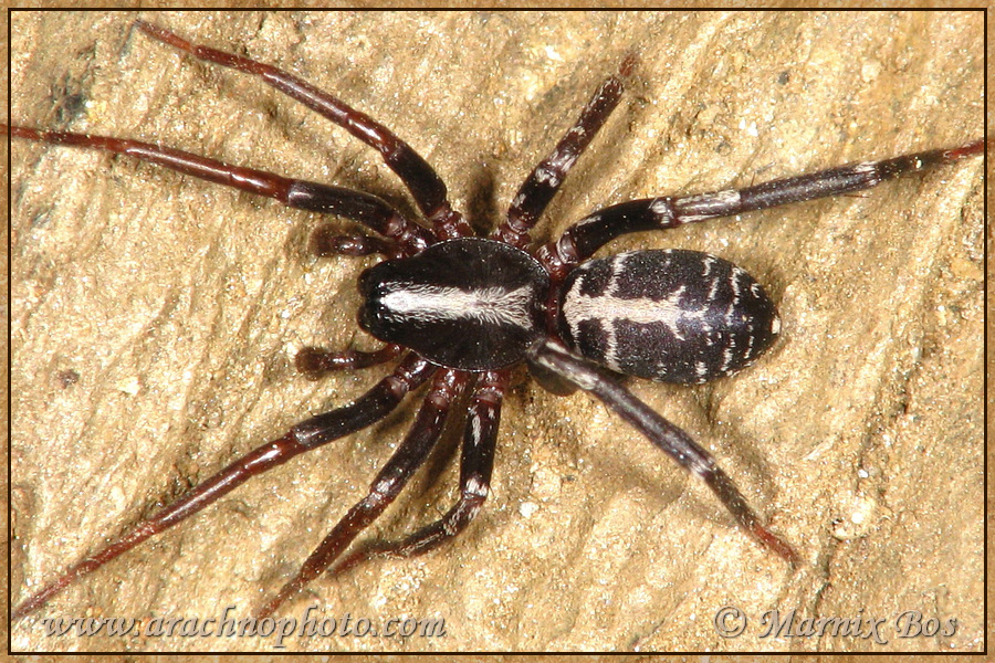 Genus <em>Castianeira</em>