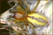 Genus Cheiracanthium