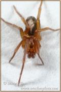 Genus Pritha