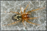 Amaurobius similis