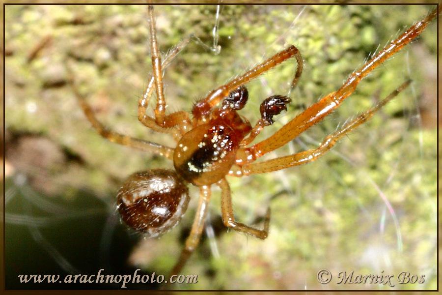 <em>Anelosimus pulchellus</em>