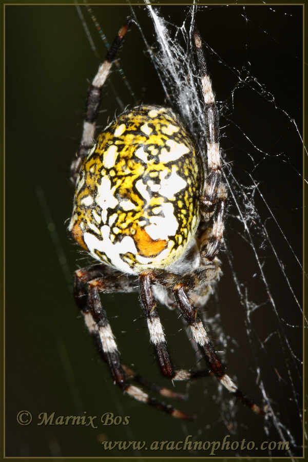 <em>Araneus marmoreus</em>