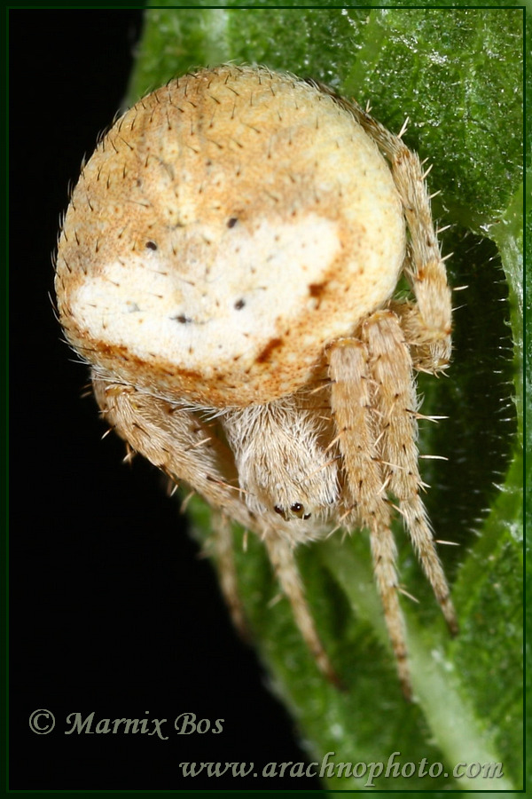<em>Araneus triguttatus</em>