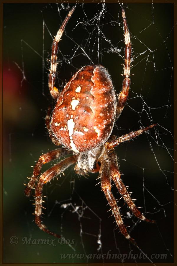 <em>Araneus diadematus</em>