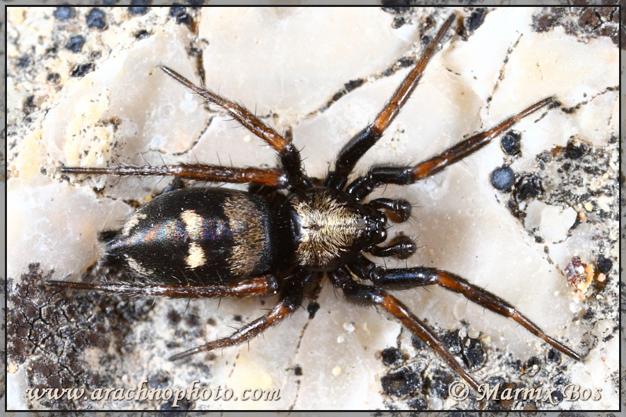 <em>Callilepis nocturna</em>
