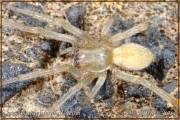 Cheiracanthium mildei