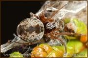 Dictyna arundinacea
