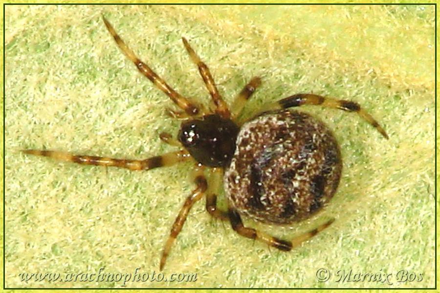 <em>Dipoena melanogaster</em>