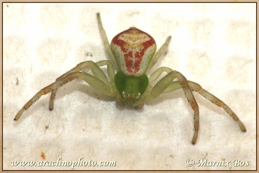 <em>Ebrechtella tricuspidata</em>