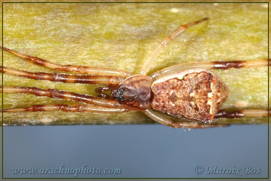 <em>Episinus angulatus</em>