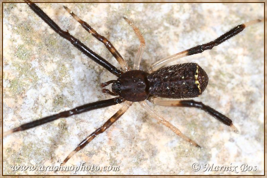 <em>Episinus truncatus</em>