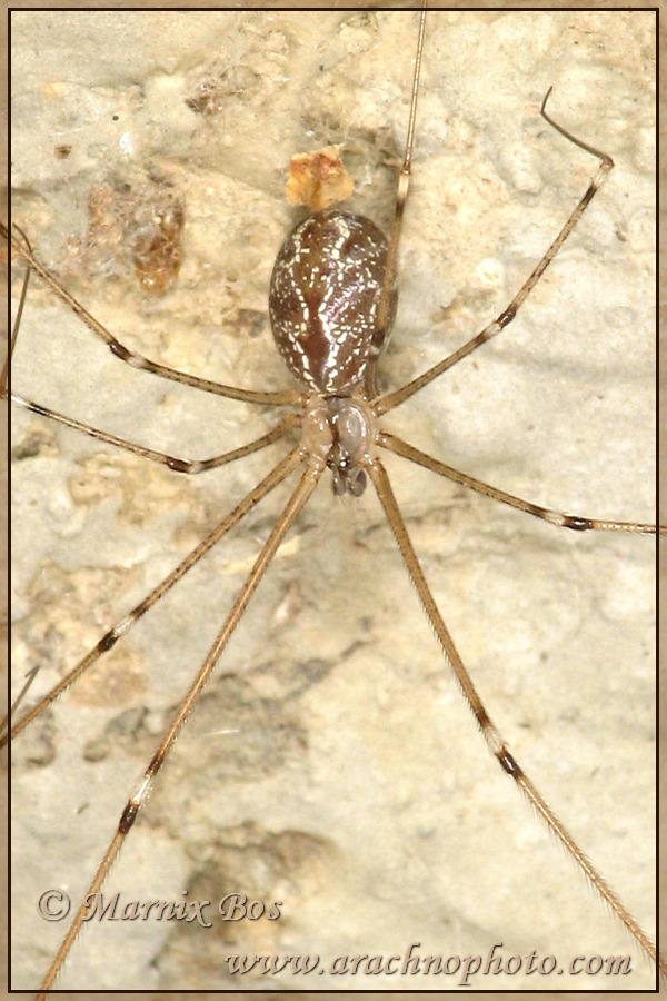 <em>Holocnemus pluchei</em>