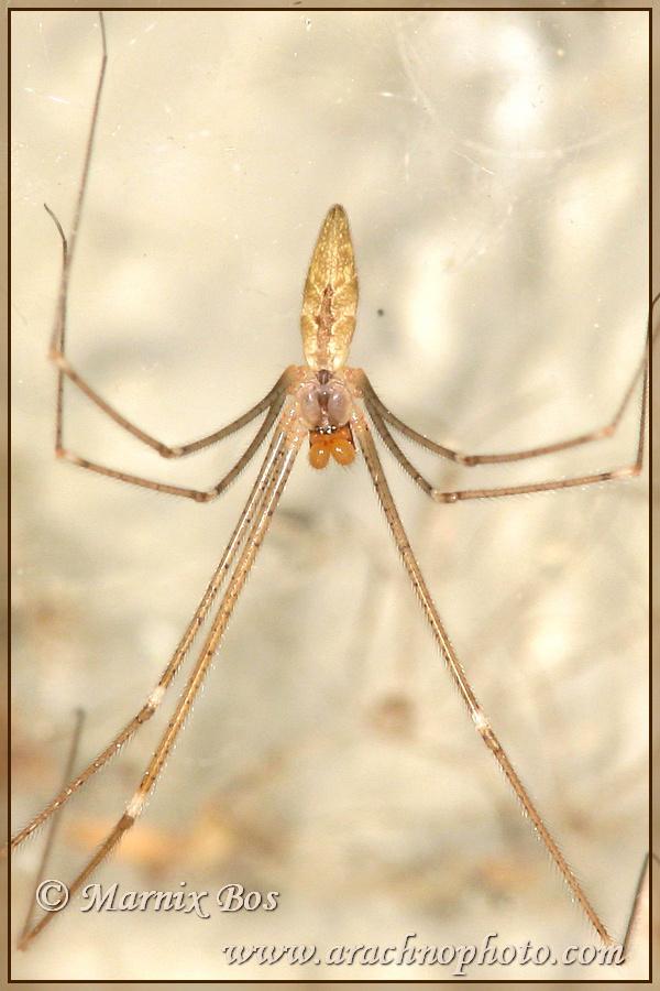 <em>Holocnemus caudatus</em>