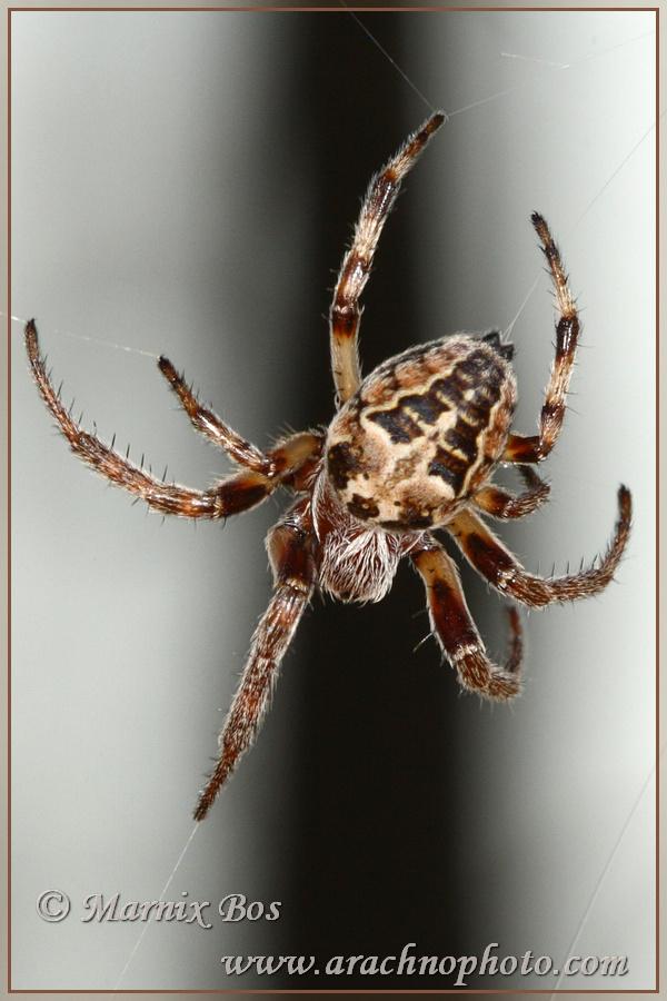 <em>Larinioides cornutus</em>