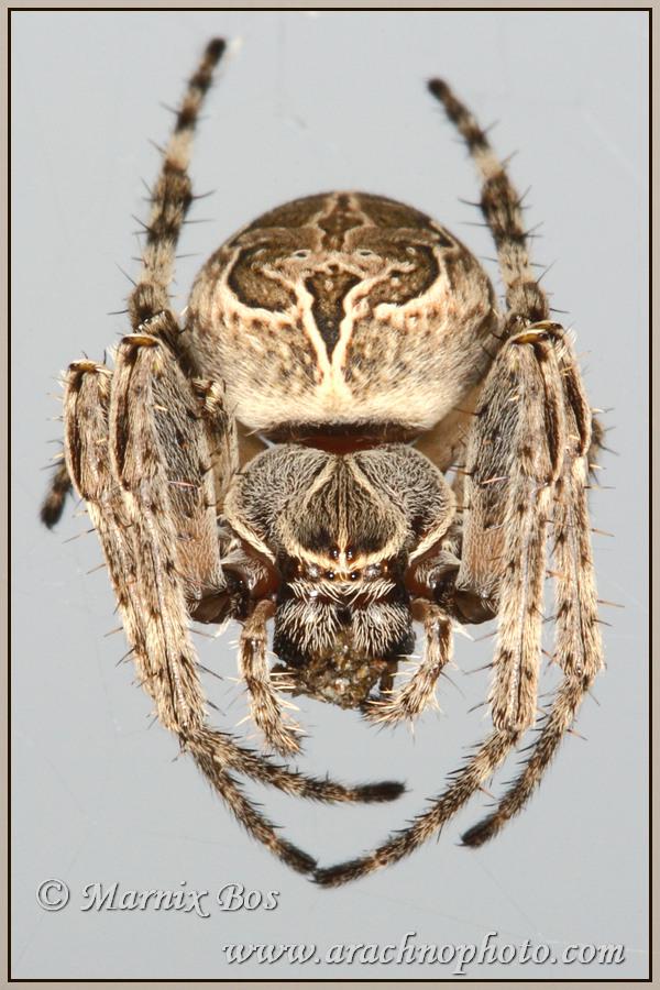 <em>Larinioides sclopetarius</em>
