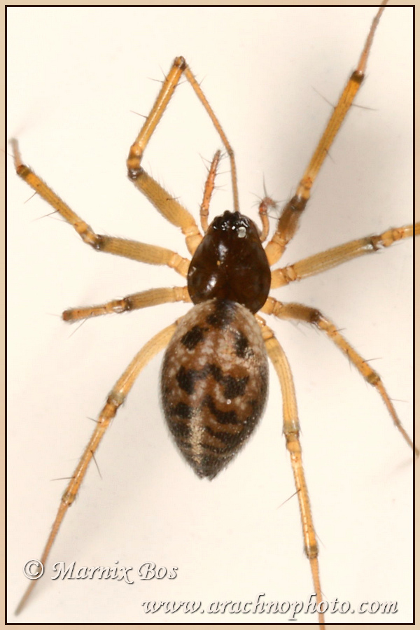 <em>Lepthyphantes leprosus</em>