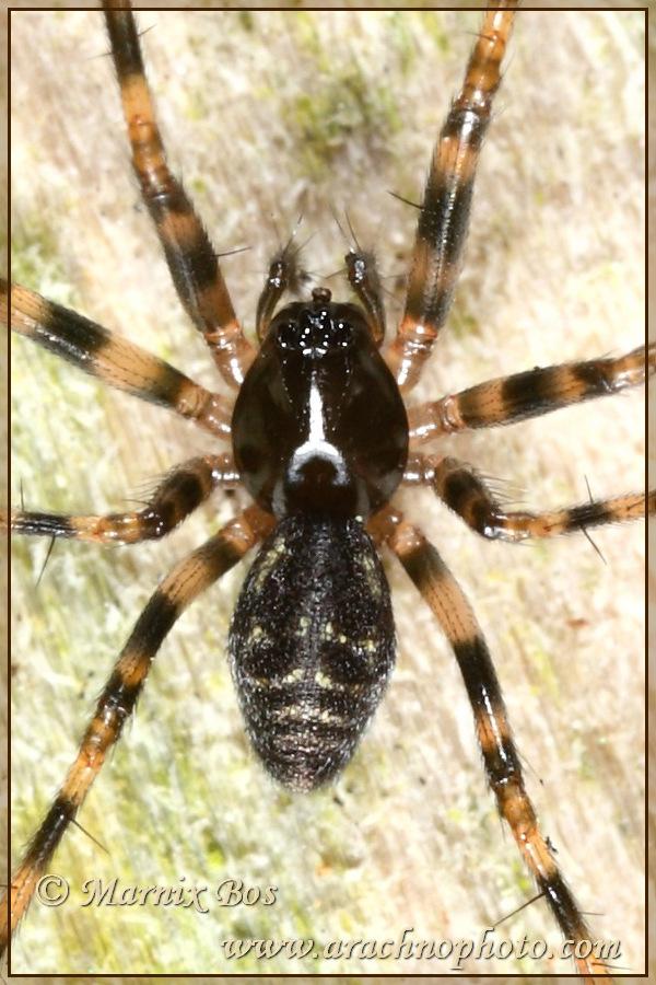 <em>Lepthyphantes minutus</em>