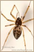 Lepthyphantes leprosus