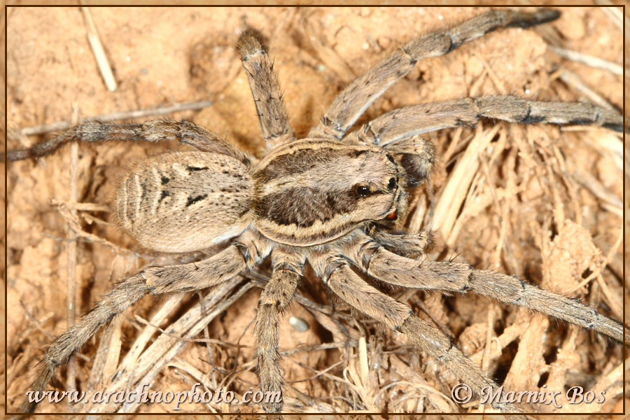 <em>Lycosa tarantula</em>