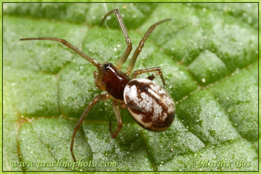 <em>Microlinyphia pusilla</em>