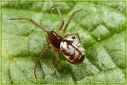 Microlinyphia pusilla